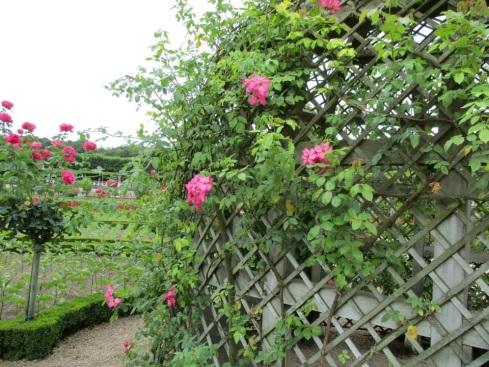 rosiers.jpg